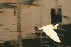 Heron is on a flight. Calm waters in the eveing. Bird perhaps getting back to the place to stay. stock photo