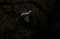 Heron In Flight on Dark Background Royalty Free Stock Photos