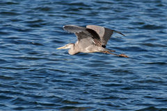 Heron flight Stock Images