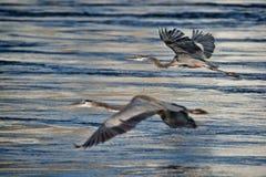 Heron Flight Stock Images