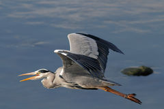 Heron flight Royalty Free Stock Photo