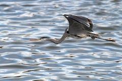 Heron flight Royalty Free Stock Image