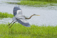 Heron flight Stock Image