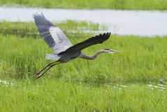 Heron flight Royalty Free Stock Images
