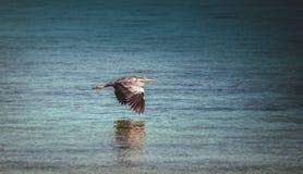 Heron in flight Stock Image