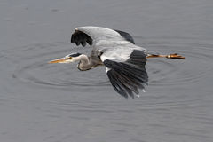 Heron in flight Stock Photography
