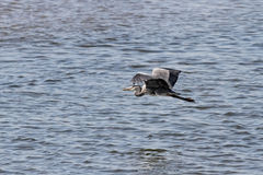 Heron in flight Royalty Free Stock Image