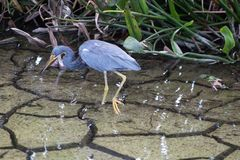 Heron in Florida swamp during drought. Tricolor heron a.k.a. Egretta tricolor wading in florida swamp royalty free stock images