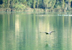 Heron,fly,lake,nature. Heron in flying on the lake surface Stock Image