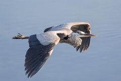 Heron flyby. A Great Blue Heron flying by over the river in the early morning light Royalty Free Stock Images