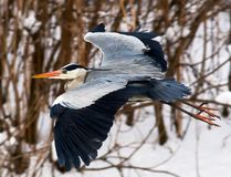 Heron flying Royalty Free Stock Images