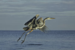 Heron flying Stock Photo