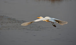 Heron flying. White heron flying over the marsh at sunset Royalty Free Stock Images