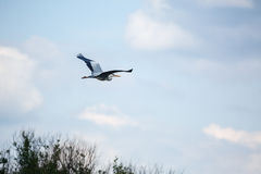 Heron flying Royalty Free Stock Image