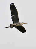 Heron flying on clear sky Stock Photography