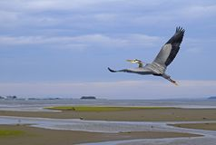 Heron flying at the Courtenay estuary. Great Blue Heron flying at the Courtenay estuary during low tide, Comox Goose Spit Park in the far background; Vancouver Stock Photography