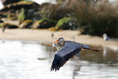 Heron flying with fish Stock Image