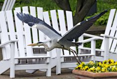 Heron flying in front of white garden chairs Royalty Free Stock Photos