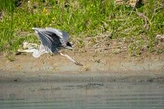 Heron flying Stock Photography