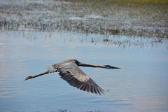 Heron flying just above the lake surface. Clear water Royalty Free Stock Photo