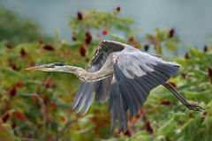 Heron flying Stock Photos