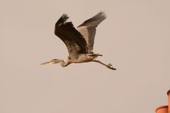 Heron flying off from chimney Royalty Free Stock Photo
