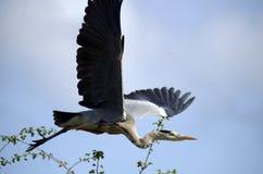 Heron Flying Stock Photo