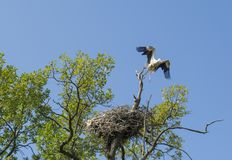 Heron flying out of nest on the tree. In the field near village stock photos