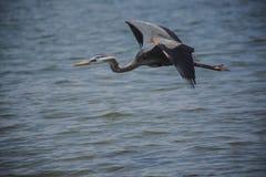 Heron flying over dunes Stock Photography