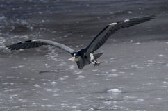 Heron flying over ice Royalty Free Stock Photos