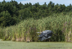 Heron Flying Over the Marsh Royalty Free Stock Image
