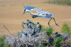 Heron nest. A heron is flying over the nest. Scientific name: Ardea cinerea Royalty Free Stock Image