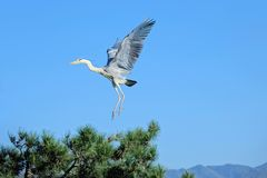 Heron. A heron is flying in the sky. Scientific name: Ardea cinerea Royalty Free Stock Photography