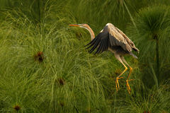 Heron is flying up Royalty Free Stock Photography