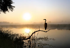 About a heron, a fog and sunrise Stock Photos