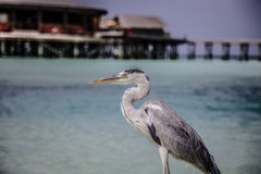 Heron. In front of luxury beach ressort Royalty Free Stock Photography