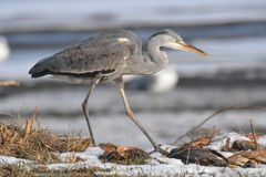 Heron on the frozen snow Royalty Free Stock Images