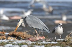 Heron on the frozen snow Royalty Free Stock Photography