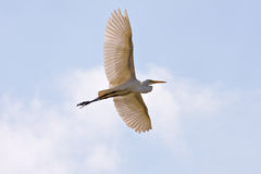 Heron in Full Flight Royalty Free Stock Photos