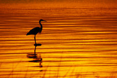 Heron Golden Sunrise - Copy Space. A shilloutte of a Great Blue Heron on Lake Champlain as sunrises at dawn as it waits patiently for it's next meal Royalty Free Stock Photo