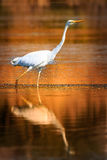 Heron great dawn. In search of food Royalty Free Stock Photo