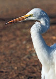 Heron. Great White Heron Close Up Portrait Stock Photography