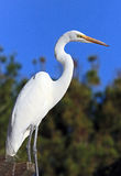 Heron. Great White Heron Close Up Portrait Stock Images