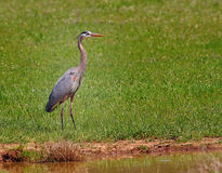 Heron In Green Grass Stock Photo