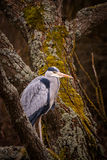Heron grey bird. In water Royalty Free Stock Images