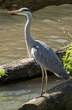 Heron 1 Royalty Free Stock Photos