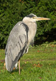 Heron Royalty Free Stock Photos