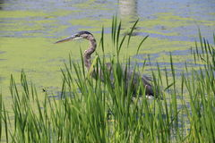 Heron Grt Blu  Royalty Free Stock Photo