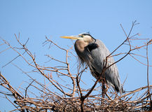Heron Guarding the Nest Stock Image