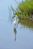 Heron in Habitat Reserve Stock Photography